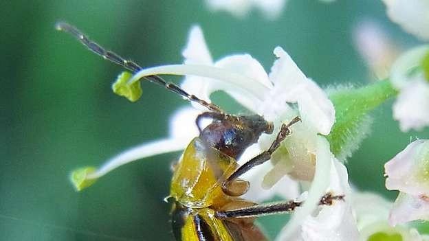 Kleiner Käfer macht grosse Sorgen: der Maiswurzelbohrer.