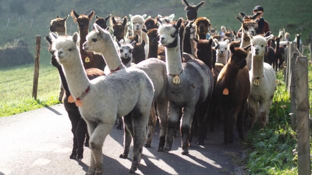 Sie scheinen glücklich, geht's wieder Richtung Tal: die Lamas und Alpakas.