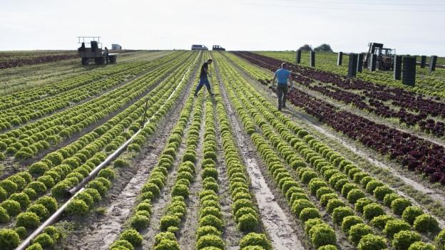 Ein grosses Feld mit grünen Salatköpfen in geraden Reihen. Arbeiter sind mit dem Abbau beschäftigt.