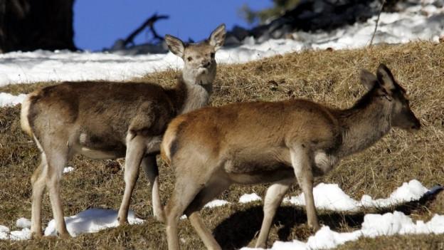 Rund 400 Jäger werden maximal bis zum 4. Dezember 230 Hirschkühe schiessen.