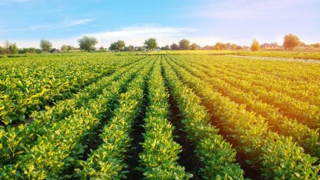 Die Kraut- und Knollenfäule kann verheerende Schäden auf dem Kartoffelacker anrichten.