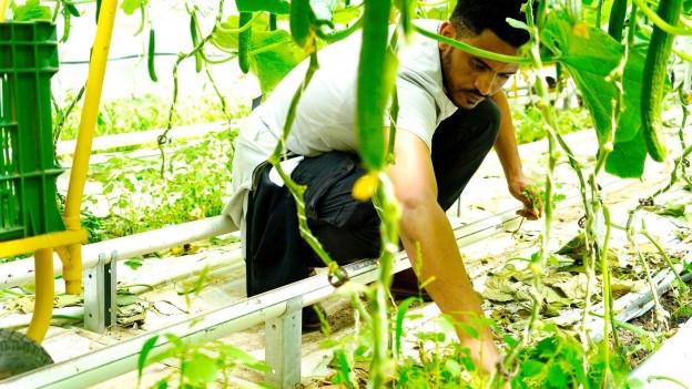 Junger Mann am Jäten in einem Gemüse-Treibhaus