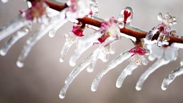 Von Eis umschlossene Blüten überstehen Frostnächte besser als ungeschützte.