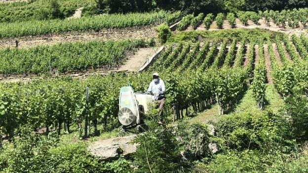 Mann mit Atemschutzmaske bringt Pestizide im Rebberg aus.