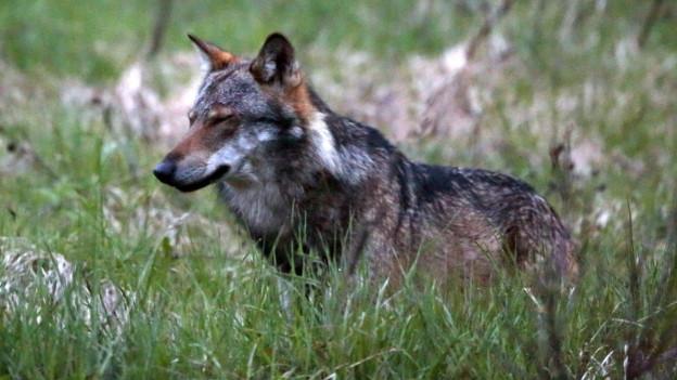 Auf dem Bild ist ein Wolf auf einer Wiese im Obergoms.