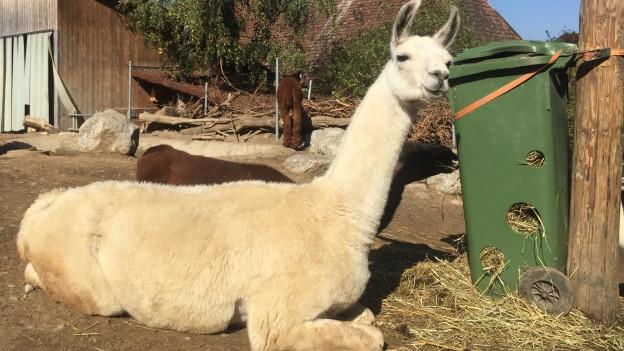 Der Zoo «Johns kleine Farm» im Berner Seeland kämpft ums Überleben.