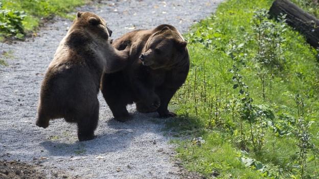 Zwei Bären spielen im Berner Bärenpark.