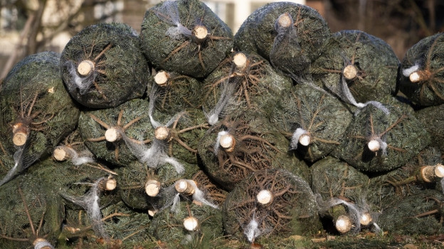 Eingepackte Weihnachtsbäume liegen zum abholen bereit.
