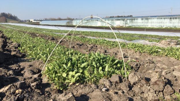 Feld mit Gemüse