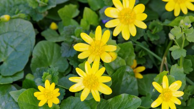 Gelbe Blüten, rundliche grüne Blätter