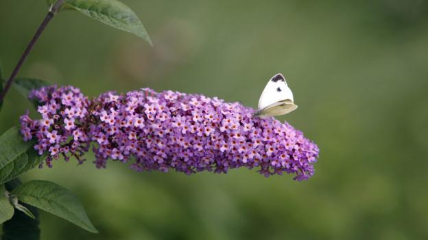 Der Sommerflieder ist ein Neophyt, also eine nicht-einheimische Pflanze.