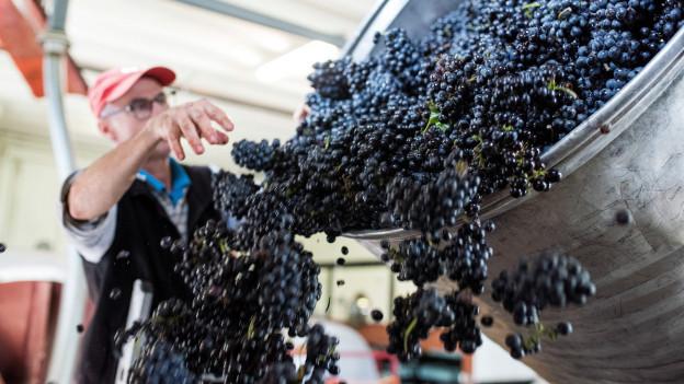 Zu viel Wein im Wallis: jetzt gibt es Geld vom Staat.