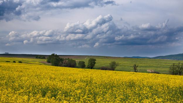 Panorama mit gelbem Rapsfeld unter bedrohlich bewölktem Himmel