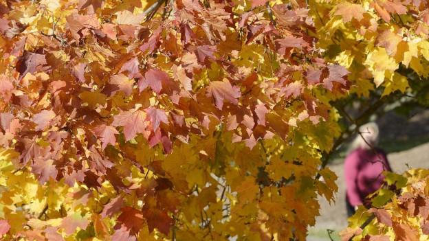 Bäume werfen Blätter früher ab