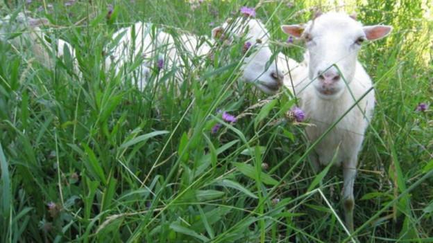 Schafe bei Allschwil