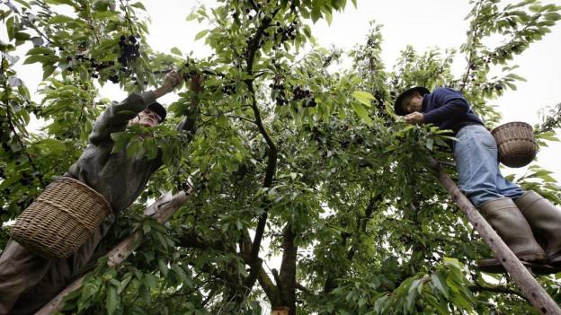 Wegen Fliege lohnen sich Hochstammbäume nicht mehr