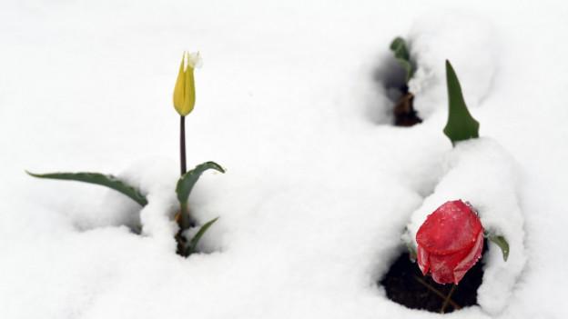 Blumen im Schnee am 28. April