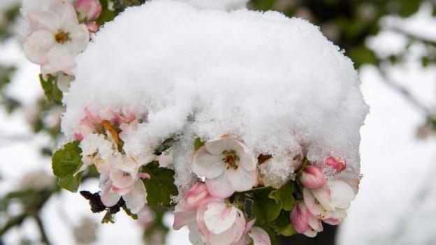 Der Schnee setzte den Thurgauer Obstplantagen teilweise arg zu