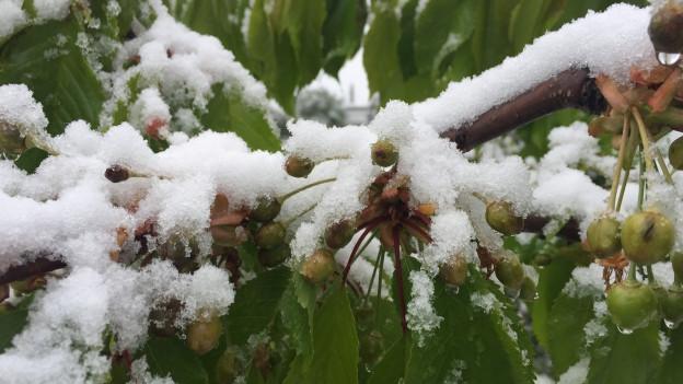 Schnee auf Kirschen in Binningen