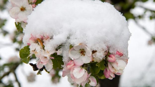 Schnee auf Apfelblüten
