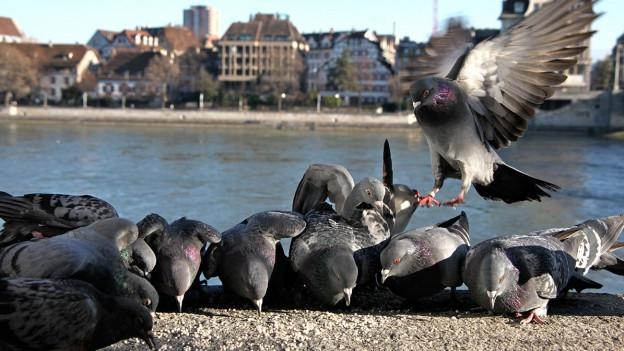Tauben plagen Basel