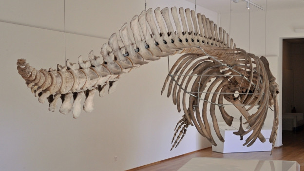 Exponat im Naturhistorischen Museum
