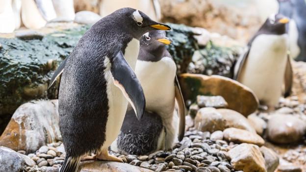 Pinguine im Basler Zolli