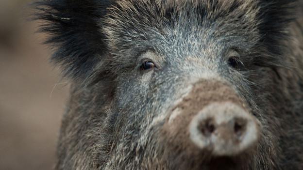 Wildschweine richten auf Feldern Schäden an