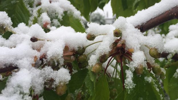 Kirschenknospen mit Schnee