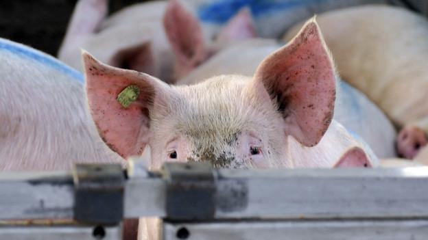 Regionale Schweine für regionale Fleischfreunde.