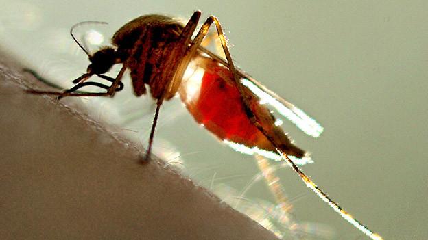 Eine Stechmücke saugt Blut.