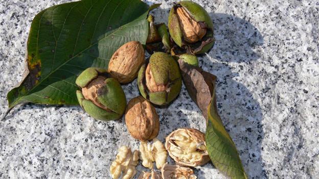 Bündner sollen Baumnüsse züchten