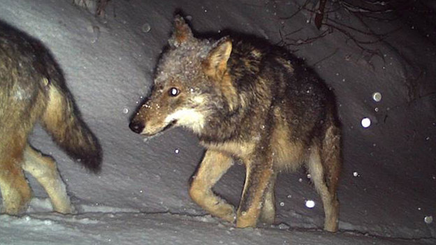 Im Domleschg ist ein Wolf abgeschossen worden.