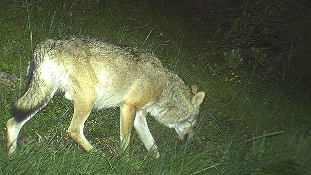 Foto macht Bild von einem Calanda-Wolf.