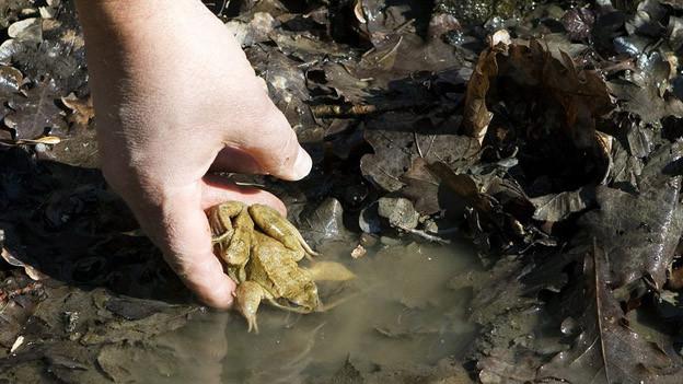Viele Frösche sind akut von Trockenheit bedroht
