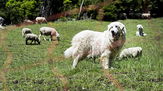 Pro Natura lehrt den Wanderer bei einer Begegnung mit dem Herdenschutz-Hund ruhig zu bleiben.