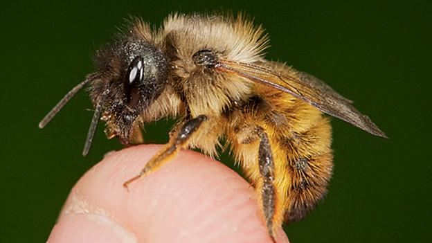 Eine Biene.