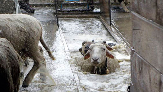 Schafe im Insektizidbad