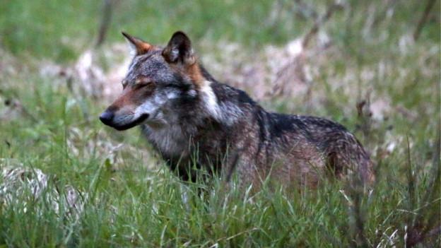 Wolf auf einer Wiese