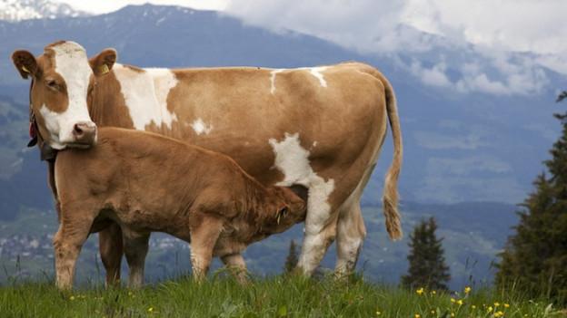 Auf den meisten Wanderwegen wird mit Tafeln darauf hingewiesen, wenn sich Mutterkühe auf der Wiese befinden. K