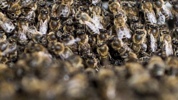 Streptomycin belastet den Bienenhonig
