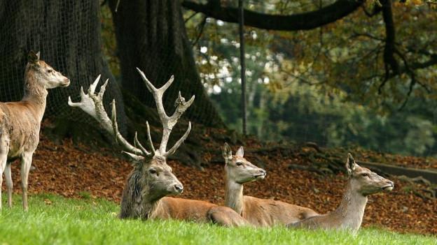 Zuviele Hirsche können für die Bäume zum Problem werden – die Tiere fressen die jungen Triebe ab.