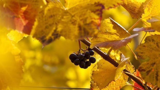 Graubünden soll zur Hochburg des Bio-Weins werden