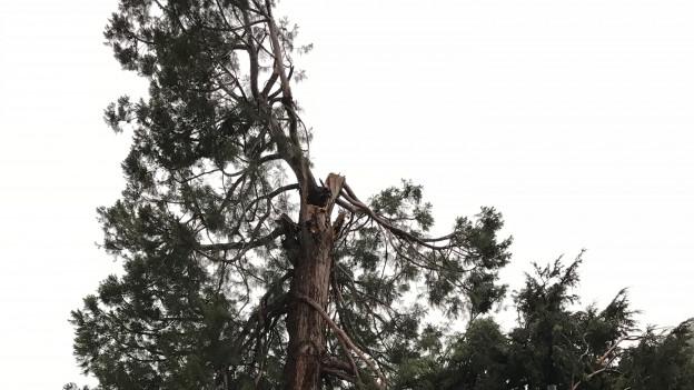 Geköpfter Mammutbaum