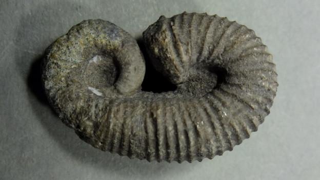 Ein Fossil
