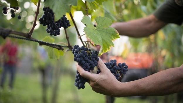 Bündner Wein unter Druck