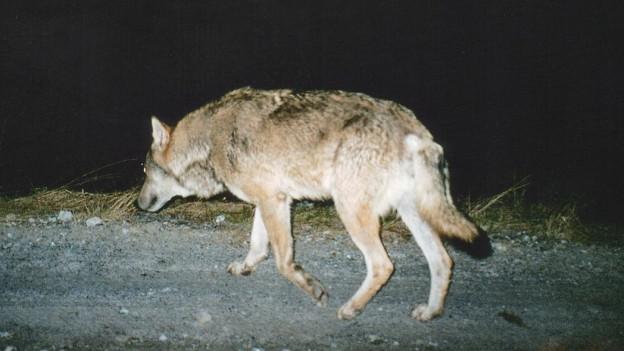 Wolf schleicht über eine Strasse