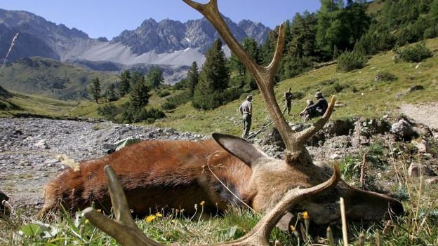Der Bündner Jagdinspektor hätte gegen mehr Hirsche nichts einzuwenden, die Jäger schon.