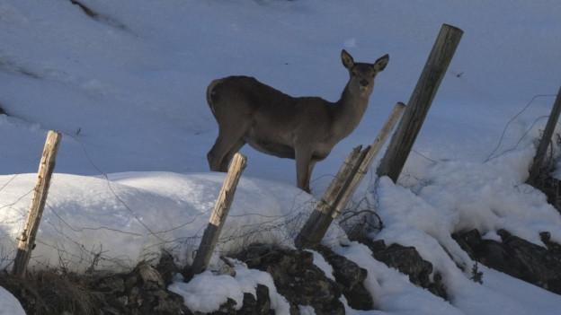 Rund 5000 Hirsche müssen jährlich geschossen werden.