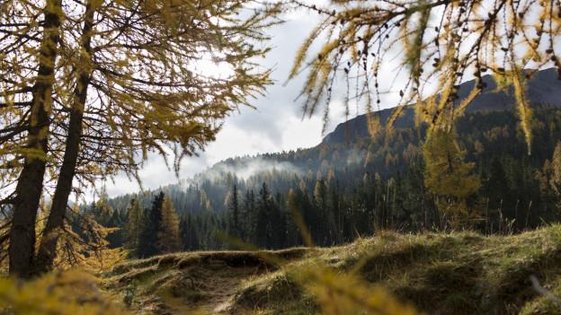 Lärchenwälder im Herbstkleid